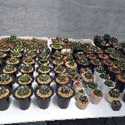 รูปโปรไฟล์ของ cactus สวยๆ
